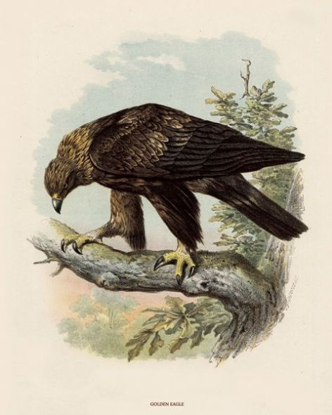 Fine Art Print of the Golden Eagle by O V Riesenthal (1876)